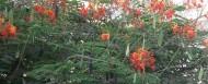 Gul Mohar tree in Pakistan