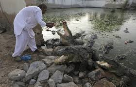 Crocodiles in Mangophir (Credit: blogs.reuters.com)